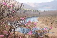 赤城山のアカヤシオ (撮影日:2017/5/19) - toshiさんの気まぐれフォトブログ