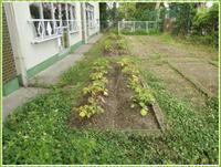 ジャガイモ畑 - ひのくま幼稚園のブログ
