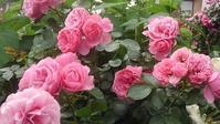 今日も薔薇の記事です。しつこくてごめんなさい♪ - 写真で綴る日々