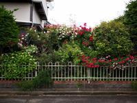 垣根のバラ - エンジェルの画日記・音楽の散歩道