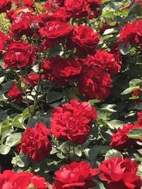 新宿御苑の薔薇 - まましまのひとり言