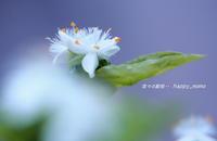 白いツユクサ - 花々の記憶