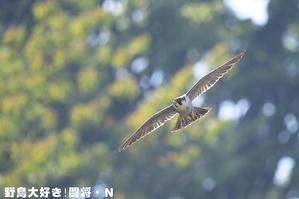 ハヤブサ - 野鳥大好き!闘将・N