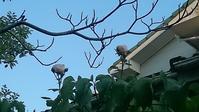 美人の薔薇 - グリママの花日記