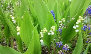庭のスズランが咲いています - ねこや食堂日記