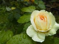 咲き始めたバラ - note+tukikao