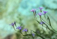 ヒメシャガ - 花鳥風景