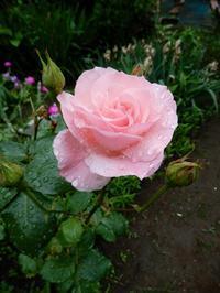久しぶりの雨・・・ - 【出逢いの花々】