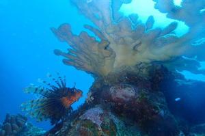 古見きゅうと見るサンゴの産卵ツアー - 石垣島ダイビングスクール日記