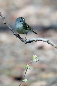 芽吹きの頃 キクイタダキ - 比企丘陵の自然