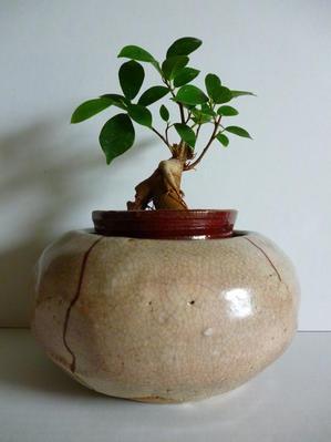 ガジュマル盆栽 - 心の時空