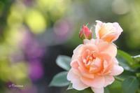 Rosese in my garden - マイ・ライフ