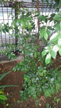 ヒサカキの実生 - うちの庭の備忘録 green's garden