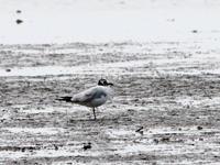 ライファー  ズグロカモメ(No.285) - シエロの鳥ノート