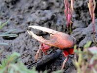 干潟の住人 シオマネキ   干潟よか公園 - シエロの鳥ノート