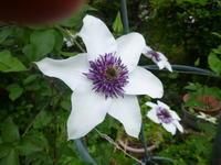 我が家の花 クレマチス咲く - 風の便り