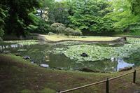 小石川後楽園の睡蓮 - お散歩写真     O-edo line