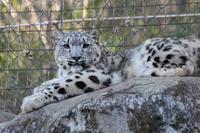 祝!Toronto Zoo ユキヒョウ「エナ」出産!! - 続々・動物園ありマス。