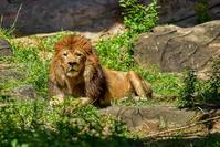 ライオン - With Art