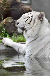 2017.5.6 宇都宮動物園☆ホワイトタイガーのアース王子【White tiger】 - 青空に浮かぶ月を眺めながら