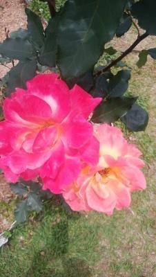 薔薇リオサンバ。 - ピーラスの気ままなライフ