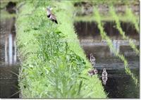 今季も、ケリの巣立ち雛を見つけました - THE LIFE OF BIRDS --- 野鳥つれづれ記