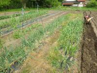 さつま芋植え準備出来ました。 - チドルばぁばの家庭菜園日誌パート2