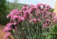 花にクマバチ窓辺にサソリ、イタリア - ペルージャ発 なおこの絵日記 - Fotoblog da Perugia