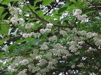えごの花  - 各国語で読める日本の花と俳句