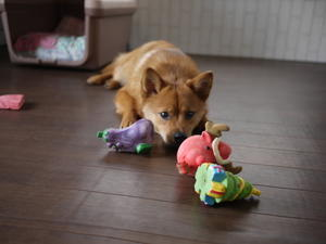 おもちゃ… - 我が家のわん・にゃん達