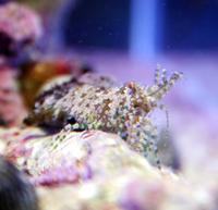 スカベンジャー!! - アクアタイムズエアー[海水魚・サンゴのブログ]