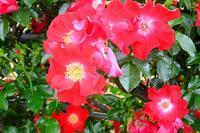 小さなバラ園で   (2) - ぶらり散歩 ~四季折々フォト日記~