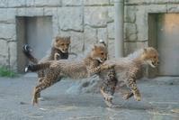 2週間ぶりのチーターっこ - 動物園に嵌り中