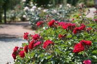 浜寺公園・バラ園のバラ - たんぶーらんの戯言