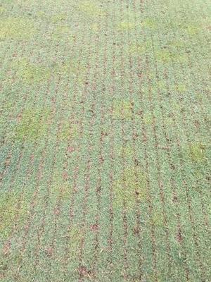 カタビラの多いグリーンのバーチカル - お父さんの仕事(ゴルフ場のコース管理)を紹介するブログ