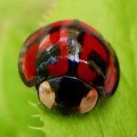 #テントウムシ #上高地 『亀の子天道虫』Aiolocaria hexaspilota - 自然感察 *Nature * feeling*