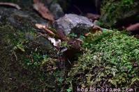 ミソサザイの巣材集めⅡ - 気ままな生き物撮り