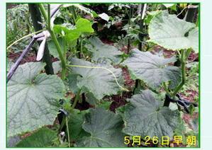 ☆ 一坪菜園の胡瓜と茄子 - ニットルームpiko