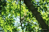 メジロの幼鳥 - 今日のいちまい