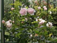 クモは肉食昆虫ですが・・・ - 虫と一緒にバラ育て バラと虫たちの世界 小さな庭で
