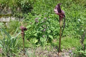 こんにゃく芋の花 - ナツメ林住期