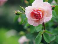生田バラ園の薔薇 1 - 光の音色を聞きながら Ⅱ