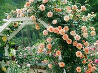 生田バラ園の薔薇 3 - 光の音色を聞きながら Ⅱ