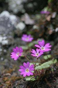 シナノコザクラ その1 - 花鳥風景