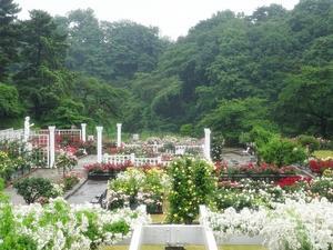 生田緑地ばら苑へ - 元木はるみのバラとハーブのある暮らし・Salon de Roses