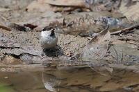 水場のコガラ - 上州自然散策2