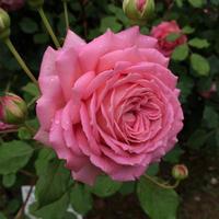 京成バラ園に行ってきました その②~ピンクのバラ~ - misaの庭暮らし~Abandon~