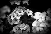 モノクロのお花 - 想い出