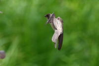 ショウドウツバメ - 今日の鳥さんⅡ