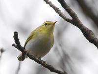 モリムシクイ - Nobbyの鳥ぶろぐ